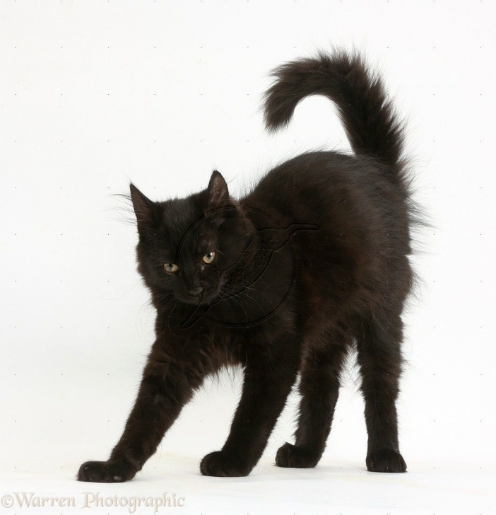 best black cat poses images